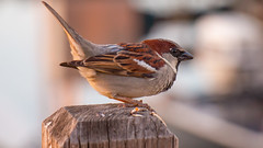 Sparrow On the Look-Out (Michelle de Vries) Tags: sparrow