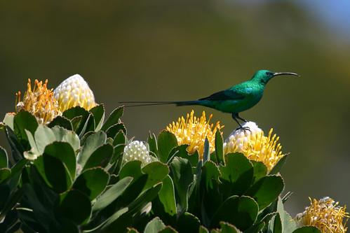 Malachite Sunbird on Pincushion Protea,