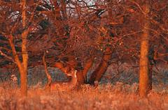 The Rub (Hannibals Animals) Tags: buck magichour buckrub whitetailrut rutbehavior