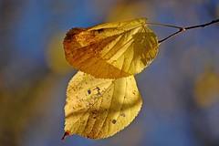 Autumn Leaves (DaveJC90) Tags: blue autumn light sky cloud brown sun sunlight blur colour detail macro leave yellow closeup leaf focus colours sunny sharp twig stick shape sharpness
