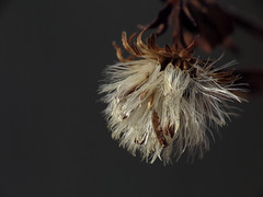 What's Left (BlueRidgeKitties) Tags: plant macro seed botany asteraceae seedpod raynoxdcr250 ccbyncsa canonpowershotsx40hs