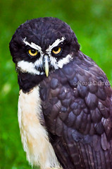 "The Spectacled Owl, Pulsatrix perspicillata ("""" Arun) Tags: from summer canada black bird yellow vancouver islands eyes nikon bc view pacific northwest you photos or taken owl everyone duncan elton raptors arun spectacled 70300 d90 perspicillata nikor vrii pulsatrix nikond90"
