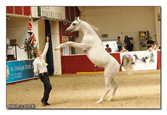 That's it ! (Abdulaziz Alturki) Tags: show horse beauty pretty mare egyptian saudi arabian straight stallion  foal          ukiahs
