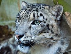 Cat Survival Trust - July 2011 (patrick-walker) Tags: flickrbigcats
