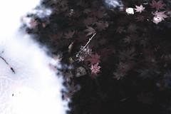 Autumn sinks in the pond #6 (f l a g e o l e t) Tags: autumn leaves japan maple sigma gifu hachiman gujo dp2x