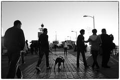 (osocan is away) Tags: california street bw dog losangeles finepix fujifilm santamonicapier contrejour x100 osocan silverefexpro2