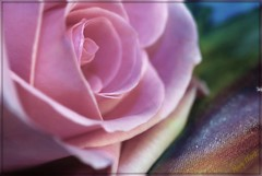 Rose on watercolor fabric (metherit) Tags: pink color rose canon watercolor pastel coloradosprings satin wow1 metherit