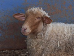 Tunis Sheep (Jen MacNeill) Tags: museum pennsylvania farm lancaster livinghistory macneill landisvalley gypsymarestudios jennifermacneilltraylor