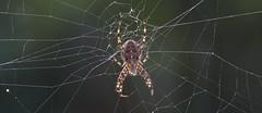 Kngul (Sigurberg) Tags: spider iceland sland araneusdiadematus justhangingaround kngul sigurberg kngulr