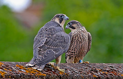 """peregrine young (wild).. ("""" yer tis my ansome """") Tags: church wings feathers devon exeter falcon talons churchspire peregrinefalcon canon500d exeterdevon mygearandme mygearandmepremium flickrawardgallery blinkagain peregrinefalconjuvenile grayclements peregrineyoung stmichealschurchexeter"""