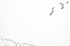 Geese (Jonne Seijdel) Tags: autumn winter sky bw bird netherlands birds canon flying geese blackwhite goose 5d migration silhouet mkii blackwhitephotos seijdel thewonderfulworldofbirds 5dmkii 5dmk2 code43