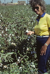 Egyptian cotton (1) (Yvon from Ottawa) Tags: harvest egypt cotton egyptian fields agriculture harvesting handpicking