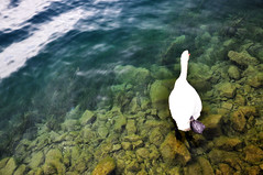 A swan on Lucerne Lake (dyorex) Tags: lake switzerland swan europe luzern lucerne rigi lucernelake
