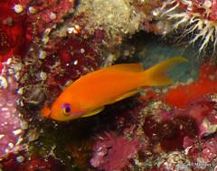 (Gall) Tags: thailand underwater dive diving similan plonge thailande andaman similanisland actinopterygii serranidae