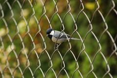 Black-headed Cuckoo shrike