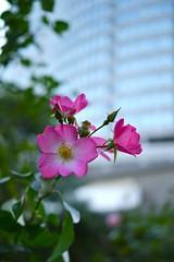 Siesta (Yorkey&Rin) Tags: pink winter flower rose japan tokyo december siesta 20mm roppongihills g3  rin 2011