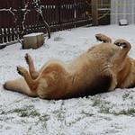 Snowdog thumbnail