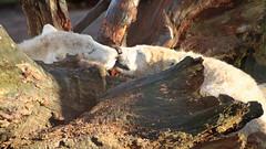 ijsbeer ouwehands IMG_2028 (j.a.kok) Tags: beer ijsbeer baer ouwehands polarbaer ouwehandszoo netherlandszoo