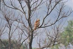 鷹鳥小鳥 画像