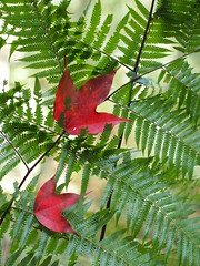Fern (HotDuckZ) Tags: red pen thailand leaf nationalpark maple olympus jpeg loei northernthailand   phukradung sooc phukradueng      epl3