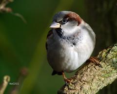 Haussperling 05 (MaiGoede) Tags: birds animals tiere housesparrow passerdomesticus vgel niedersachsen haussperling fedderwardersiel digiscopie cmatthiasihriggoede