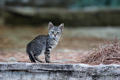 kitten (cyberjani) Tags: animal cat dazzlingshots