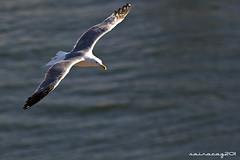 058/365 (sairacaz) Tags: sea canon mar seagull 365 70300mm tamron gaviota vuelo tamron7030mm 365photoproject eos550d