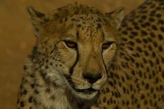 Is it dinner time yet? or: meet Simon the salivating Cheetah (Pim Stouten) Tags: portrait portrt bigcat cheetah hunter predator portret namibia jager gepard acinonyxjubatus roofdier jachtluipaard namibi cheetahfarm otjitotongwe jagluiperd flickrbigcats namibien