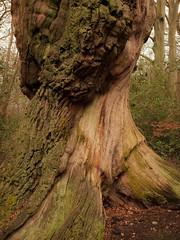 1250336 (..stefan) Tags: tree oak woods burnhambeeches