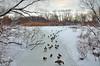 A Bronx View – Getting my Ducks in Order (Eddie C3) Tags: newyorkcity snow ice nature birds geese bronx lakes mallards vancortlandtpark