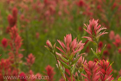 "Indian Paintbrush • <a style=""font-size:0.8em;"" href=""http://www.flickr.com/photos/63501323@N07/6638528283/"" target=""_blank"">View on Flickr</a>"