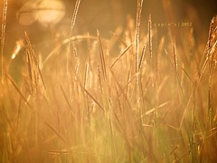 Golden Dream (Encik Capin) Tags: nature grass sunrise landscape golden olympus e1 cahaya lalang sigma105 mimpi capin xenocapin