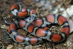 Red Milksnake (kaptainkory) Tags: red usa milk ar reptile snake unitedstatesofamerica defensive defense milksnake snakelampropeltisgentilis