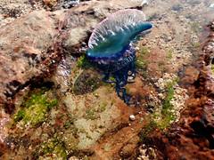 Aguamala (Mersilia) Tags: agua cuba playa colores medusa mala rocas baracoa aguamala