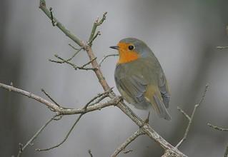 Rougegorge familier Erithacus rubecula - European Robin