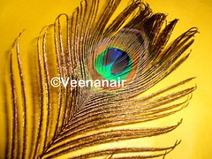 *Divine beauty*~~ Peacock feather/Mayilpeeli (Veena-Nair) Tags: blue india green love yellow gold feather peacock hues dreams trust wisdom myth purity peacockfeather indiantradition mayilpeeli flickraward divinebeauty lovelyhues