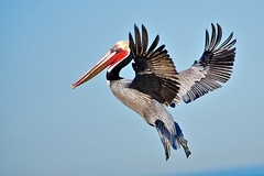 Pelican (Insu Nuzzi) Tags: nature inflight wildlife pelican shorebirds sandiegocalifornia