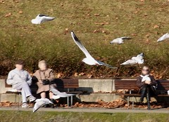 Lachmöwe, NGIDn1737633759 (naturgucker.de) Tags: deutschland larusridibundus badenwrttemberg naturguckerde lachmwe ctorstenhunger seenuntererschlogartenrosensteinpark ngidn1737633759