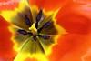 Tulip 3 (♥ Spice (^_^)) Tags: plants flower macro art nature japan closeup geotagged photography photo flora asia flickr image picture pistil petal stamen tulip 日本 花 自然 植物 千葉県 写真 黄色 chibaprefecture 花弁 オレンジ マクロ olétusfotos panoramafotográfico panaromafotografico カラー チュリップ tnebestofmimamorsgroups gettyimagesjapan12q1
