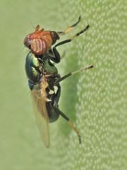 """Physiphora alceae (carlos mancilla) Tags: insectos macro flies animalplanet moscas ef100mmf28macrousm raynoxdcr250 physiphoraalceae """"flickraward"""" canoneos550d canoneosrebelt2i elitebug"""