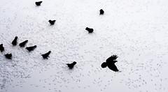 Seattle Snow Crows (TheMunkyHouse) Tags: seattle snow walking snowstorm canvas crows seattlesnow snowpocalypse