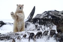 "Eisbär, Arctic National Wildlife Refuge, Alaska (8) • <a style=""font-size:0.8em;"" href=""http://www.flickr.com/photos/73418017@N07/6730318985/"" target=""_blank"">View on Flickr</a>"