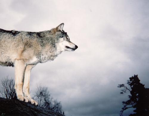 varg wolf