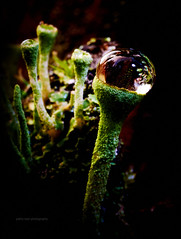 Jungle Boogie (just.like.that.) Tags: wild macro nature forest disco woods nikon earth ground drop jungle micro droplet boogie lichen tamron lav discoteque djungel cladonia lavar bgarlav trumpetlav spelliticro