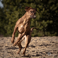 The moment (Oape) Tags: wallpaper dog sun berlin jump sand nikon action outdoor ridgeback rhodesian elza
