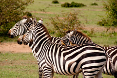 Zebras and Oxpecker birds (Adam_BT) Tags: zebra masaimara oxpecker buphaguserythrorhynchus equusquagga nikonflickraward