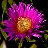 Lila y oro (Jose Casielles) Tags: hojas flor jardin lila amarillo oro yecla petalos fotografíasjcasielles
