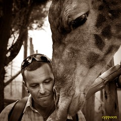 THE SWEET ENCOUNTER (D3S_9642T) (cyppoon) Tags: southafrica giraffe johannesburg lionpark giraffacamelopardalis cyppoon