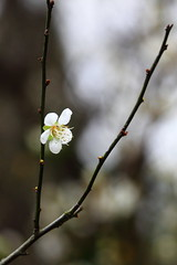 IMG_6249 (Sandor's Album) Tags: flowers flower blossom plum hsinchu taiwan 台灣 新竹 梅園 梅花 清大 國立清華大學 nationaltsinghuauniversity drmeimemorialgarden