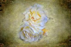 Rosas (Daniel D3100) Tags: rosas texturas flres